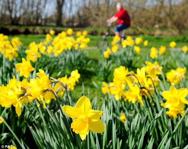 Daffodils in bloom at Stapenhill Park in Burton, Staffordshire: Temperatures hit over 20C in England - beating most European destinations
