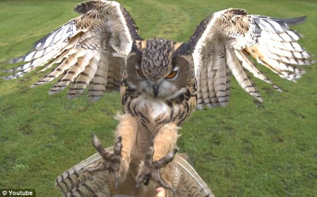 Grip: The video, which was posted last October, shows the bird coming in for a landing with his talons ready