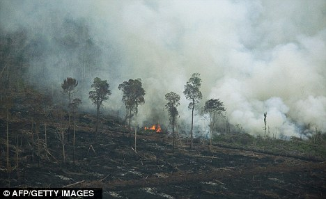 Shocking: Hundreds of orangutans are believed to have died in fires deliberately lit by palm oil companies Tripa forest on the coast of Aceh province in northern Indonesia