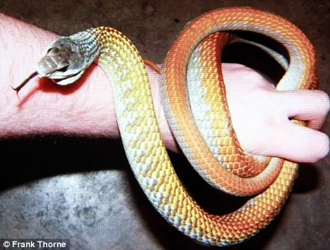 A Golden Tree snake: Similar to the one discovered on the light plane