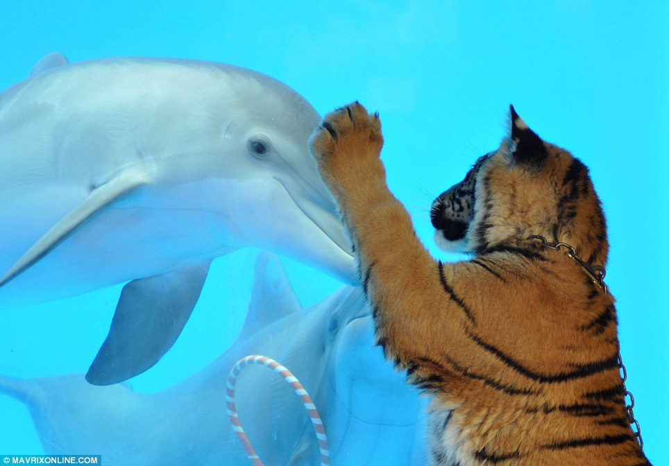 How's it going in there? A tiger attempts to shake hands with one of his new aquatic friends