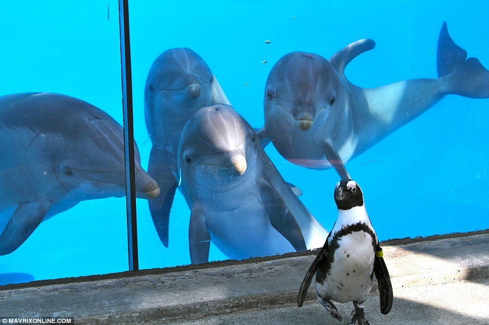 They're behind you! The penguin toddles around completely unaware that there's a group of porpoises behind him trying to be his friend