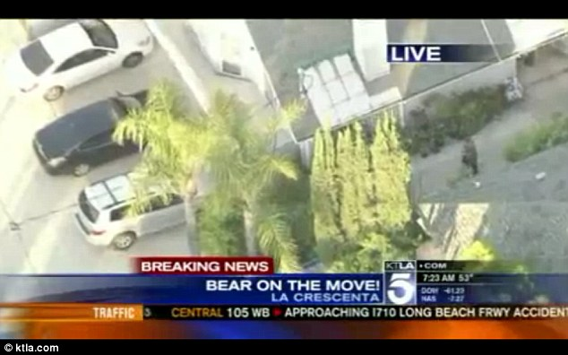 Unnoticed: A man who is texting is completely unaware that he is walking into the path of a bear