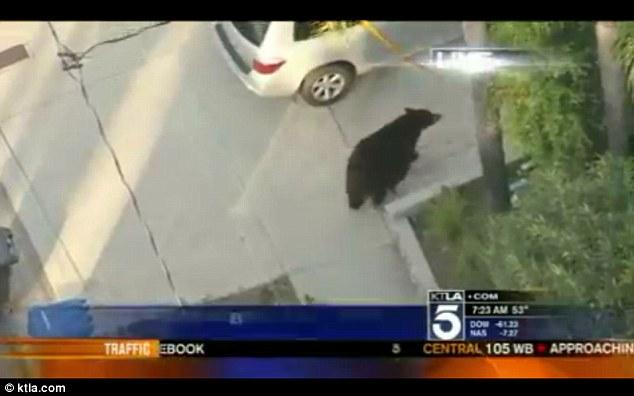 Watch out! A bear begins to wander into a California neighbourhood