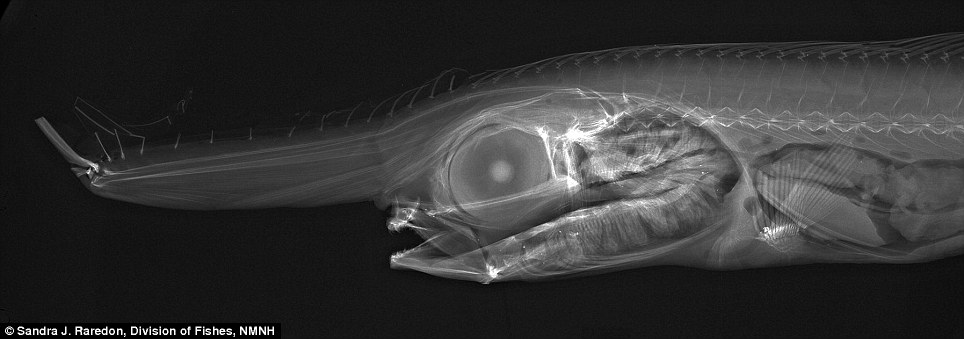 The nose knows: The Eumecichthys fiski, or unicorn crestfish, has an unusual shape