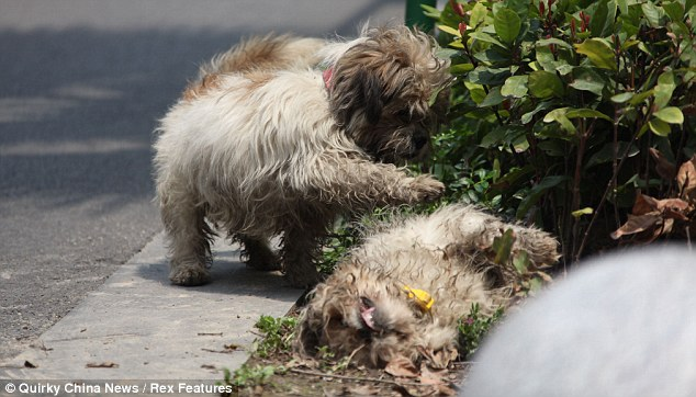 Mates forever: The mourning male dog paws at his tragic partner after she was knocked down by a car in south east China