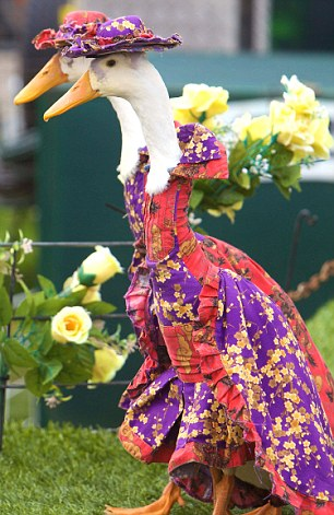 Feathery fashion: This glamorous goose struts her stuff in a new frock