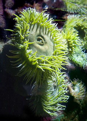 Fine believes that the create might have been a giant sea anemone that stood up to 9ft tall
