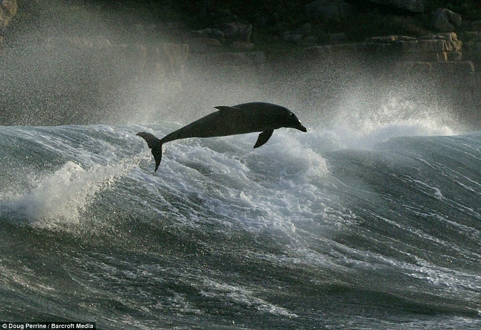 Stormy sea: This dolphin glides through the air as rough conditions throw the sea at a cliff-face