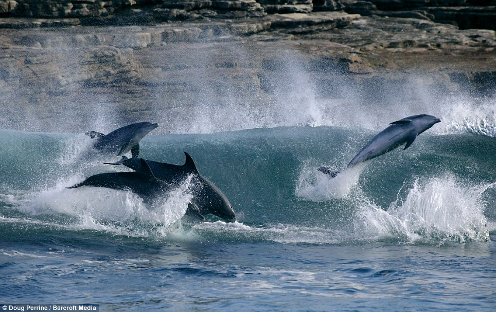 Choppy: Surfing bottlenose dolphins, Tursiops aduncus (formerly Tursiops truncatus) jump out of the back of a breaking wave on the Wild Coast in Transkei, South Africa