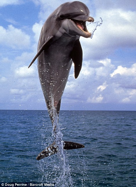 Hey there! A bottlenose dolphin leaps from the water in the Bahamas