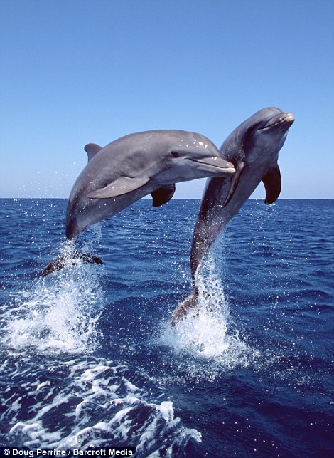 Bottlenose dolphins leap from the water in the Bahamas