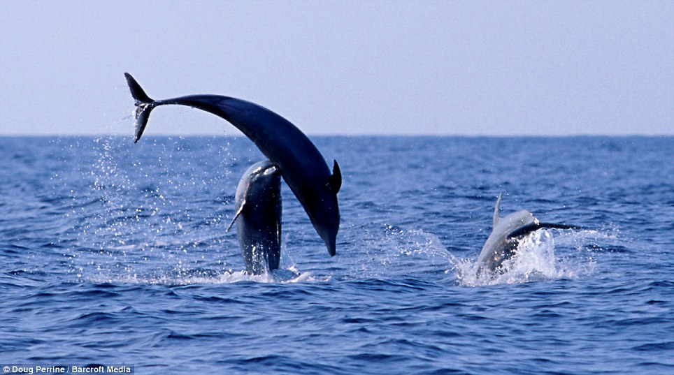 Playtime: Three dolphins jump in and out of a calm sea