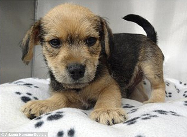 Recovering: Passers-by found the terrier-Yorkie mix. He is now recovering and up for adoption