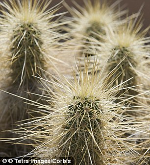 Thorn in his side: Cactus Jack was found in a cholla cactus, pictured, and is being treated for infections
