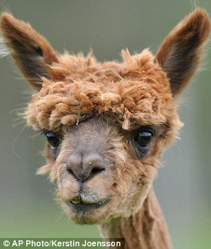 Fashion victims: The annual alpaca shearing is a tradition at Alpaca Land in Austria