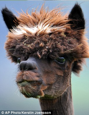 Close shave: Five to ten pounds of hair is shaved off an adult alpaca every year
