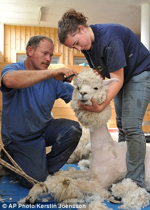 Carina Stadler, right, holds an alpaca as her father Erwin cuts away its wool coat at Alpaca-Land farm, in Goeming