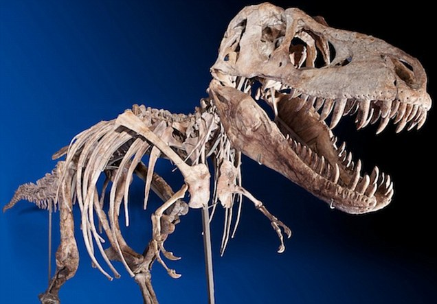Rare: The amazingly complete skeleton of Tyrannosaurus bataar, a cousin of T-rex which lived around 80million years ago