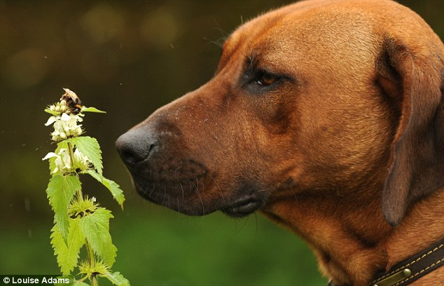 What a buzz: Ted the Rhodesian Ridgeback sniffs out this bee to make sure his owner can log their habitats and keep them protected