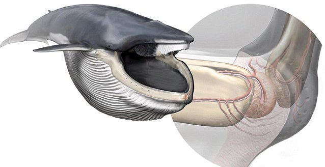 Grapefruit-sized 'new organ' found in whale's mouth