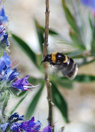Food security: Much of the U.S.'s bee population is under threat from bacteria which cause American Foulbrood Disease, which are difficult to destroy