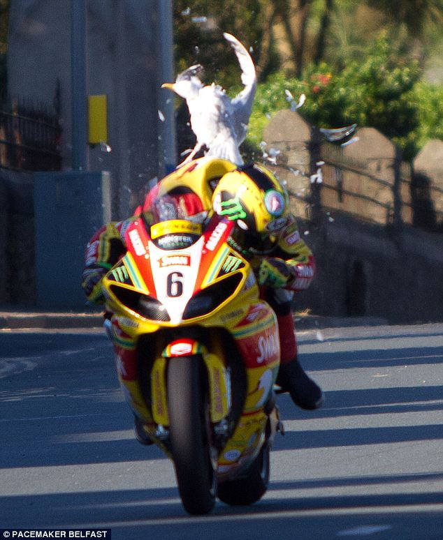 Watch where you're going! A low-flying sea gull collides with John Hutchinson's Swan Yamaha Superbike as he hurtles down a straight at the Isle of Man TT motorcycle meet