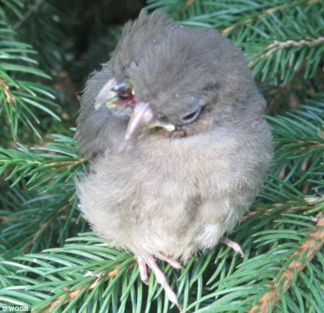 Stunned: The avid bird watcher and animal lover said she has lived in her home for 26 years and has never seen come across a bird like it before