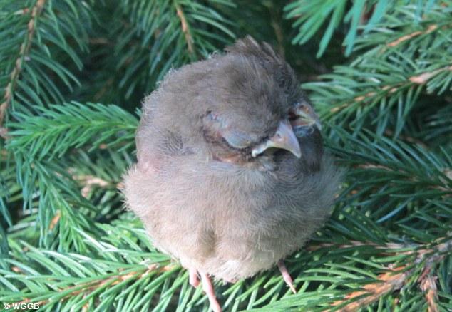 Concerns: Mrs Britt is now worried the bird won't survive because of its deformity