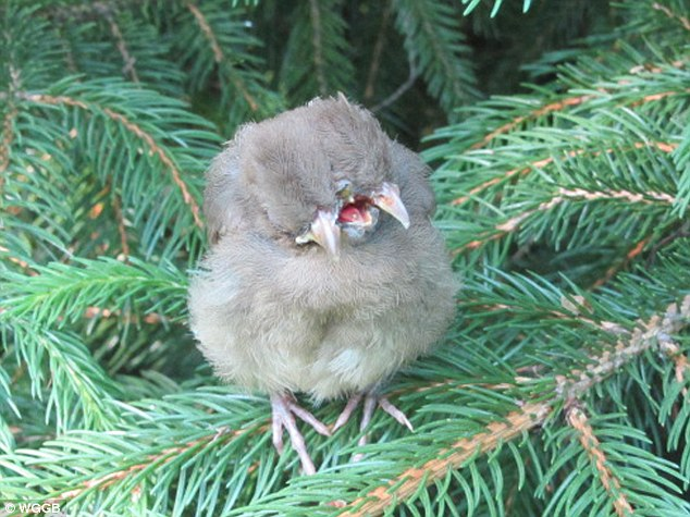 Bizarre: April Britt found this baby female Cardinal with two heads and three beaks perched on a branch in her backyard