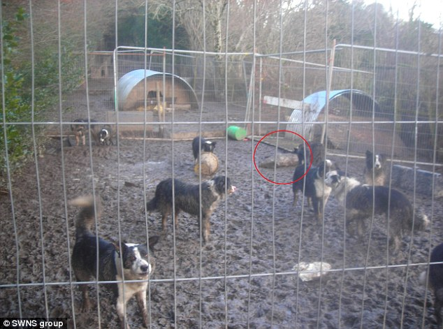 Squalid: Animal welfare inspectors found the collie dogs caked in mud and fighting over the remains of a dead pig (circled)
