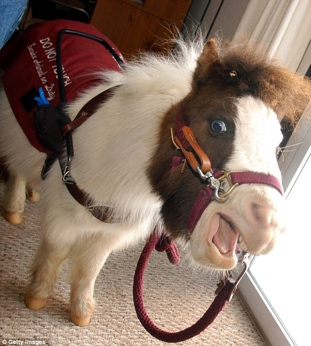 Leading the pack: Tonto, a miniature horse who went through one year of training, acts as a seeing eye dog and was one of three working guide horses in the United States in 2004