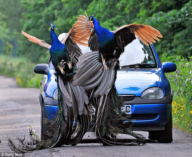 Problems: Residents of Banks, a village near Southport, are having their lives terrorised by a gang of peacocks. A pair of male peacocks can be seen fighting with each other