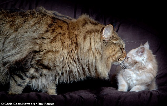 Not the average cat: Rupert, who at 9kg is expected to put on further weight, tries to make a new friend