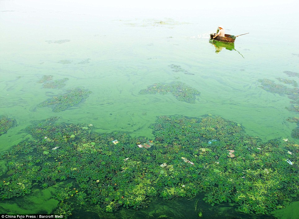 Sea green: On China's Chaohu Lake the water has changed colour due to the huge amount of algae