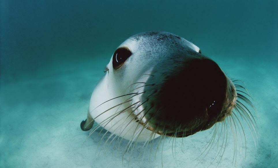 Sea life through a lens: An Australian sea lion peers playfully into the camera off Hopkins Island South Australia