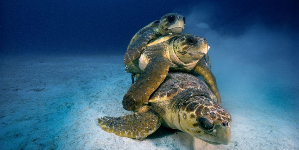 Hidden world: A stack of mating loggerhead turtles in the Florida Keys National Marine Sanctuary, Key Largo Florida