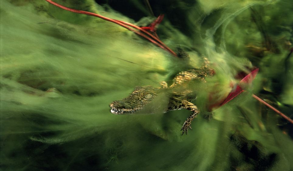 Green menace: A baby Nile crocodile hides in a veil of algae in the Ncamasere Channel of the Pan handle region of the Okavango Delta, Botswana, Africa