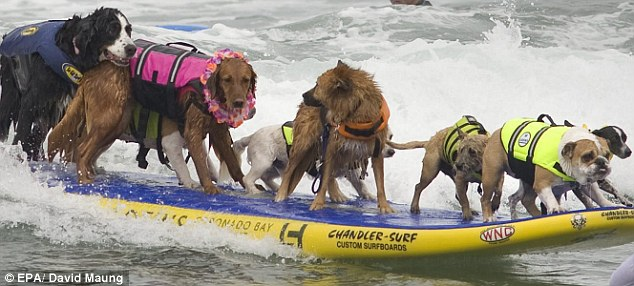 Dogs of all shapes and sizes took part in the California surfing competition