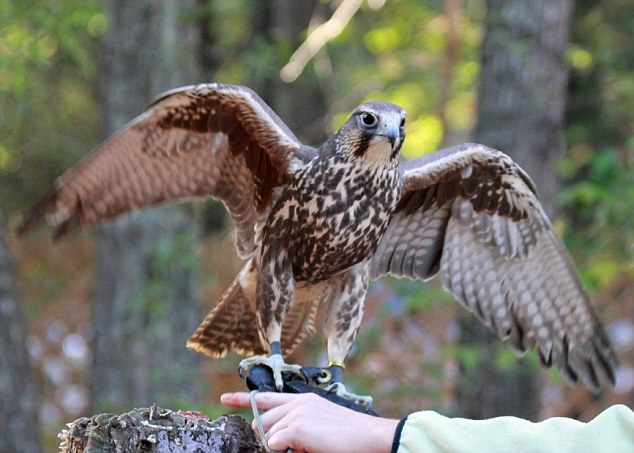 A poorly common buzzard which struggled to fly was given a feather transplant using bamboo shoots and a collection of spare feathers from a saker falcon (pictured)