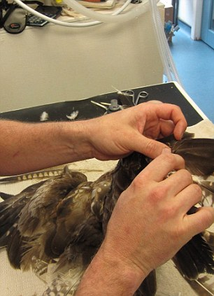 The vet, Chris Gardner, decided the best option was to stick in new feathers onto the wing and tail