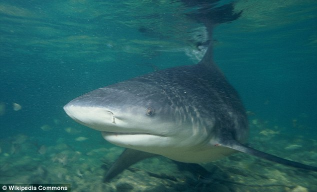 Bull: Authorities didn't get a good look at the shark but they suspect it was a bull shark, pictured (file photo)