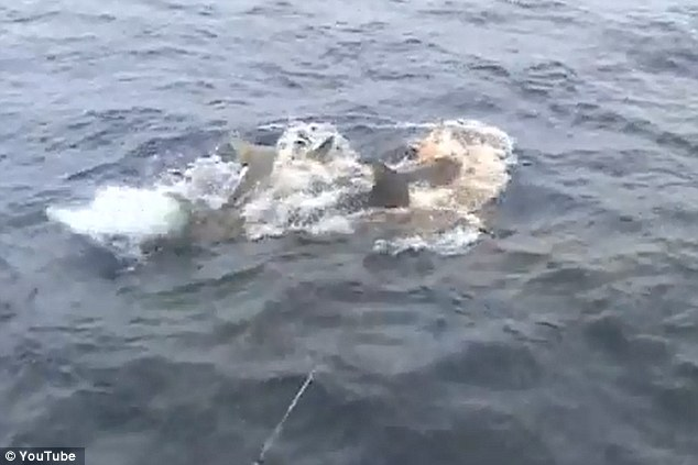 Scary: Suddenly, two massive Tiger Sharks emerged on the water's surface and appeared to be fighting over the fish