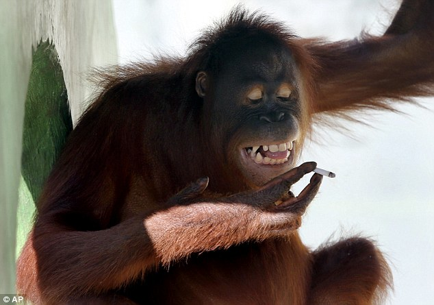 Puffing away: Tori the 156-year-old orangutan has been smoking for over a decade