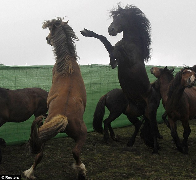 Horseplay: These two wild stallions engage in a spot of boxing earlier today at the rapa das bestas in Spain