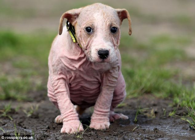 Adorable: The pup, who has a skin condition which has left her almost completely bald was found wandering the streets in pouring rain by a concerned passer-by
