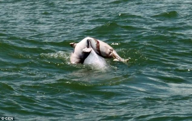 Heartbreaking: A dolphin carries the body of a dead calf, undoubtedly her own, off the coast of the Guangxi Zhuang region, in China. The 'mourning ritual' is rarely caught on camera