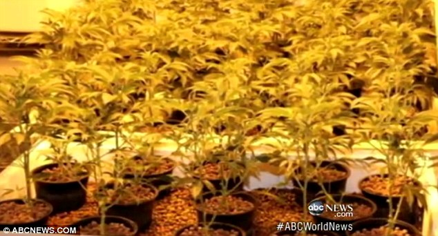 Stash: The yearlong probe resulted in the arrest of the teen and seven adults, as well as the seizure of more than 600 hydroponically grown marijuana plants with a street value of around $3million