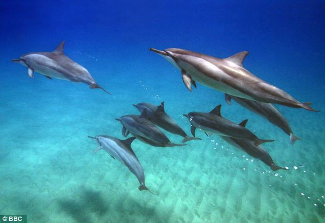 Highly intelligent: Dolphins travel in pods and are highly social animals. They have been known to protect other species, such as humans, but can also be inexplicably aggressive