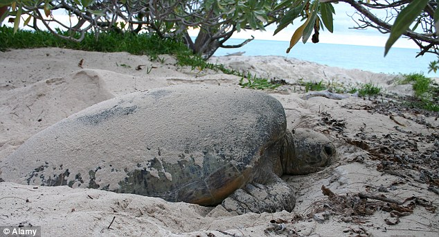 Turtle on Heron Island